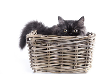 Young Longhair cat in basket