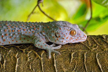 close up gecko.