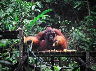 big male of orangutan
