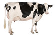 Holstein cow, 5 years old, standing in front of white background - 35195683