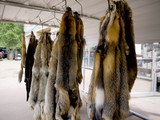 Otter pelts in Seligman Arizona on Route 66 USA poster