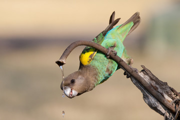 Drinking parrot