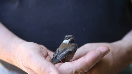 man holds stunned chickadee that has flown into a window