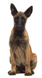 Belgian Shepherd Dog, 4 months old, sitting
