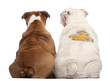 Rear view of English Bulldogs with design on their back