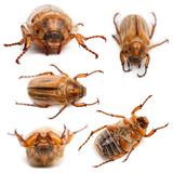 5 summer chafer or European june beetles poster