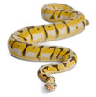Female Killerbee Royal python, ball python, Python regius