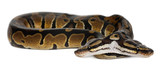 Two headed Royal Python or Ball Python, Python Regius