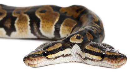 Close-up of Two headed Royal Python or Ball Python