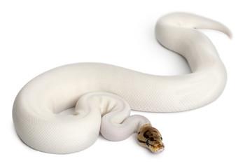 Female Pied Spider Royal python, ball python, Python regius