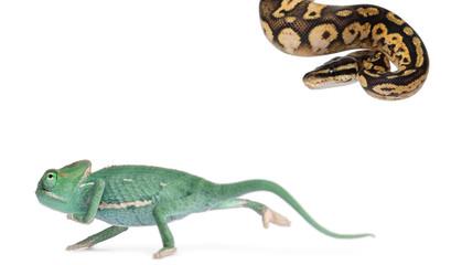 Young veiled chameleon, Chamaeleo calyptratus
