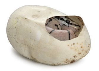 Royal Python in his egg, ball python, Python regius
