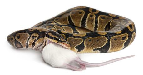 Python Royal python eating a mouse, ball python, Python regius
