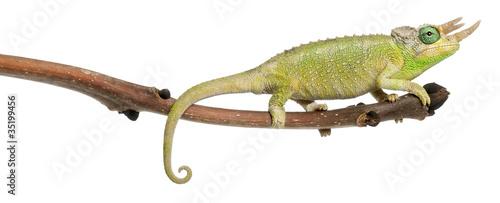 Staande foto Kameleon Mt. Meru Jackson's Chameleon, Chamaeleo jacksonii merumontanus