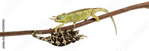 Staande foto Kameleon Two Mt. Meru Jackson's Chameleons