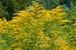 canvas print picture - Goldrute - Solidago