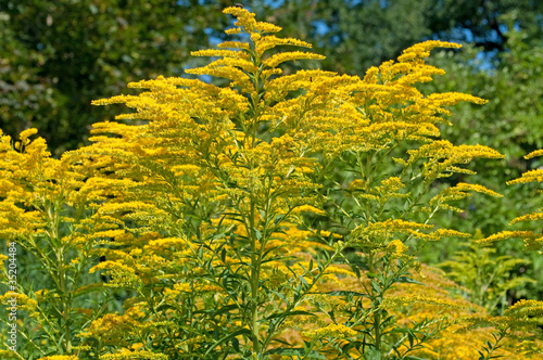 canvas print picture Goldrute - Solidago