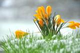 Fototapety Krokus im Schnee