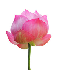 la lotus flower isolated on white