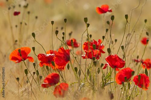 Foto op Aluminium Poppy Coquelicots (Papaver rhoeas)dans un champ de céréales (blé /