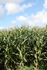 Maize Corn Plants Crop Biofuel