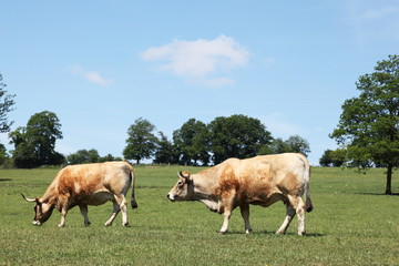 Aubrac Beef Cattle Cows Grazing Profile