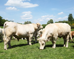 Charolais Bull And Cow In Summer Pasture