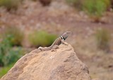 Great Basin Collared Lizard , Crotaphytus bicinctores