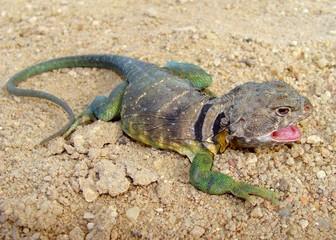 Eastern Collared Lizard, Crotaphytus collaris (gaping male)