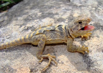 Eastern Collared Lizard, Crotaphytus collaris (juvenile)