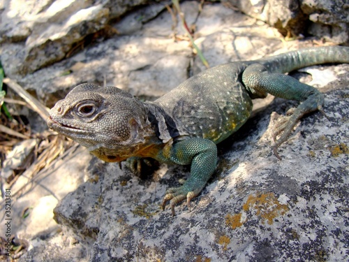 Eastern Collared Lizard, Crotaphytus collaris (green male)