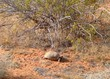 Desert Tortoise, Gopherus agassizii, basking near creosote