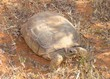 Desert Tortoise, Gopherus agassizii, eating grass
