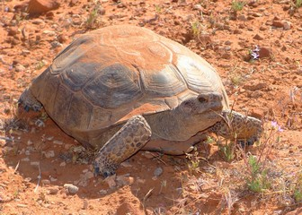 Threatened Desert Tortoise, Gopherus agassizii, in the sun