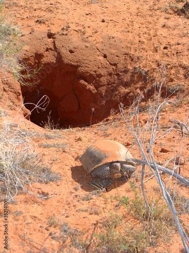 Fotobehang Schildpad Desert Tortoise, Gopherus agassizii, near burrow