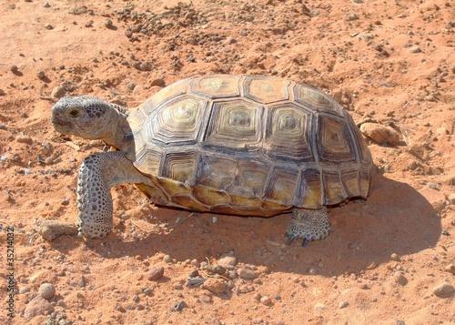 Fotobehang Schildpad Desert Tortoise, Gopherus agassizii, in Mojave of Utah