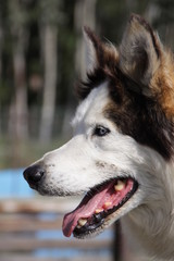 Schlittenhund - Alaskan Husky