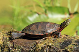 Midland Painted Turtle Basking on a Log - Ontario, Canada poster