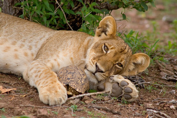 A lion cub lying on the ground