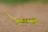 Small green chameleon