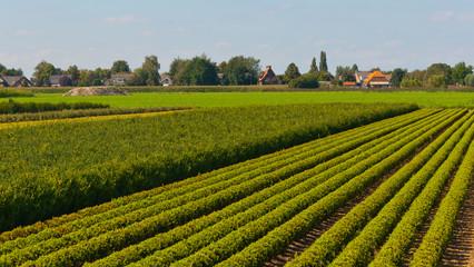 Tree nursery in the Netherlands