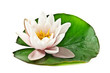 white lotus on leaf