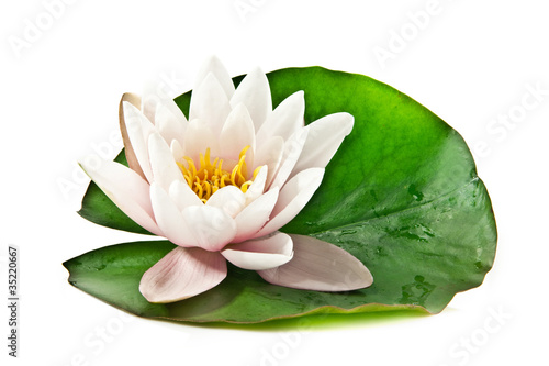 Fotobehang Water planten white lotus on leaf