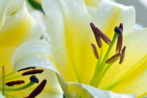 Yellow lilly with water drop
