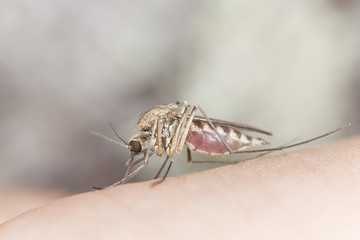 Mosquito sucking blood, extreme close up