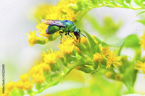 杜鹃蜂 蜂