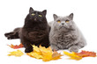 cats and autumn leaves isolated