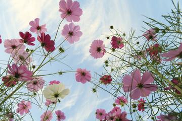 空に向かう秋桜