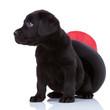 cute little black labrado