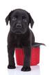 cute little black labrador